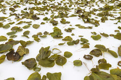 早期的冬天雪白和绿色叶子 免版税库存照片