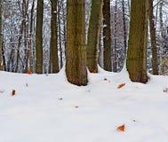 早期的冬天 在雪的下落下来的橡木叶子 免版税库存照片