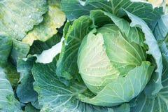 早期的圆白菜在庭院里 免版税库存照片