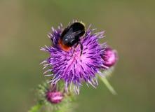 早期的土蜂 免版税库存图片