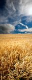 早期的域夏天麦子 库存照片