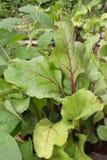 早期的奇迹甜菜和黄荚种菜豆在庭院里 免版税库存照片