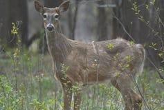 早期的斯平白尾鹿大型装配架 图库摄影