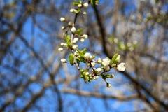 早期的春天开花的杏子关闭  库存图片