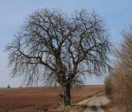 早期的春天结构树 库存图片