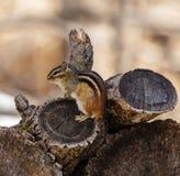 早期的春天花栗鼠 图库摄影