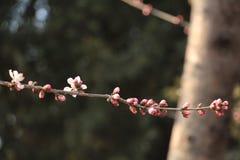 早期的春天街道花在北京 库存图片