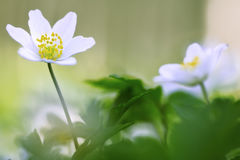 早期的春天野花,银莲花属nemerosa 库存照片