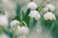 早期的春天雪花野花 库存照片