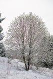 早期的春天,在雪的镇静树coverd 库存图片
