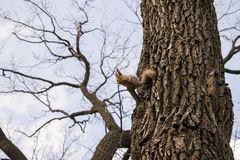 早期的春天 与浅灰色的毛皮和红色耳朵的蓬松灰鼠,坐分支吃坚果的让 免版税库存照片
