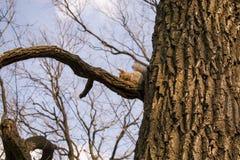 早期的春天 与浅灰色的毛皮和红色耳朵的蓬松灰鼠,坐分支吃坚果的让 免版税库存图片