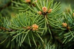 早期的春天 在杉树第一个锥体看上去浅褐色 在锥体附近,多刺的绿色针增长 免版税库存图片