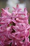早期的春天 开花的桃红色风信花 免版税库存照片