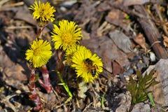 早期的春天黄色花。 免版税库存照片