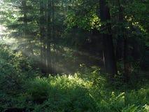 早期的森林早晨 免版税库存照片