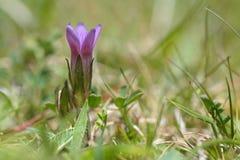 早期的植物(无茎龙胆anglica) 免版税库存图片