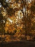 早期的秋天在沿阿肯色河的三角叶杨森林里在南科罗拉多 免版税库存图片