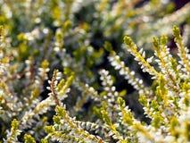 早期的秋天射击了黄色和白色石南花 图库摄影