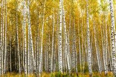 早期的秋天桦树树丛 图库摄影