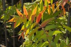 早期的秋天红色分支 图库摄影