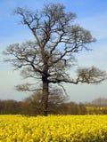 早期的英国橡木春天结构树 免版税库存照片
