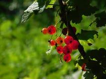 早期的莓果 图库摄影