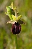 早期的蜘蛛兰花花,带红色变形- Ophrys incubacea 免版税库存照片