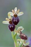 早期的蜘蛛兰花/Spinnen-Ragwurz/Ophrys sphegodes 免版税图库摄影