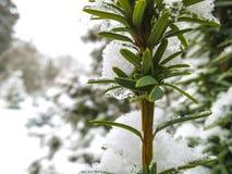 早期的降雪 常青赤柏松罗汗松baccata Fastigiata Aurea绿色叶子  库存照片