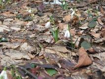 早期的snowdrop在森林里 免版税库存图片