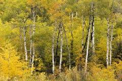 早秋天颜色在怀俄明,白杨木树 库存照片