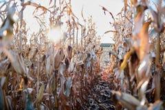 旭日形首饰通过干玉米种植行  免版税库存图片