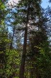 旭日形首饰通过树 免版税库存照片