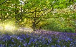 旭日形首饰通过照亮会开蓝色钟形花的草的树 免版税库存照片
