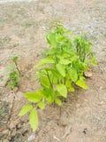 旱田的小植物 库存图片