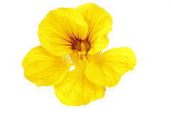 旱金莲属植物黄色 库存照片