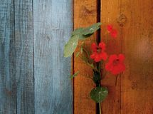 旱金莲属植物 免版税库存照片