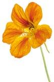 旱金莲属植物 库存照片