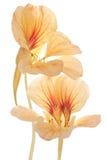 旱金莲属植物 免版税图库摄影