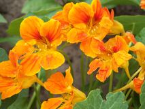 旱金莲属植物 库存图片