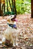 时尚拉布拉多猎犬品种 图库摄影