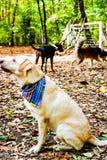时尚拉布拉多猎犬品种 库存照片