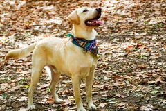 时尚拉布拉多猎犬品种 免版税库存照片