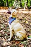 时尚拉布拉多猎犬品种 免版税图库摄影
