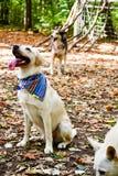 时尚拉布拉多猎犬品种 库存图片