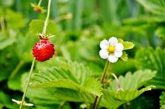 时段丛生通配的草莓 草莓属vesca 免版税库存图片