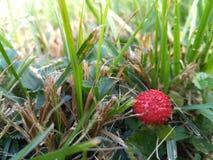 时段丛生通配的草莓 免版税库存照片