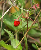 时段丛生通配的草莓 库存图片