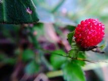 时段丛生通配的草莓 免版税库存图片